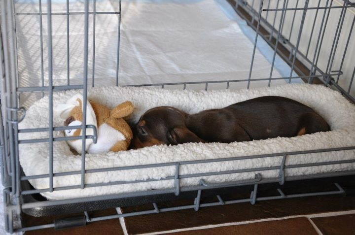 Share This Pin With Anyone Needing To Potty Train A Puppy Or Dog Coco From North Carolina Dachshund Puppy Training Crate Training Dog Potty Training Puppy