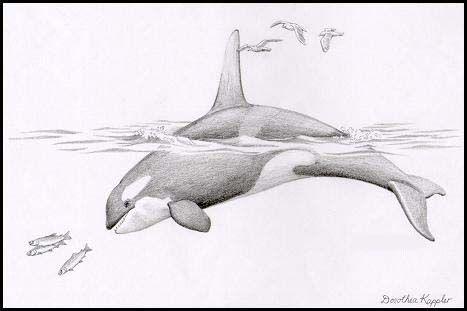 Orques rois des mers dessin en 2019 drawings art et whale - Dessin d orque ...