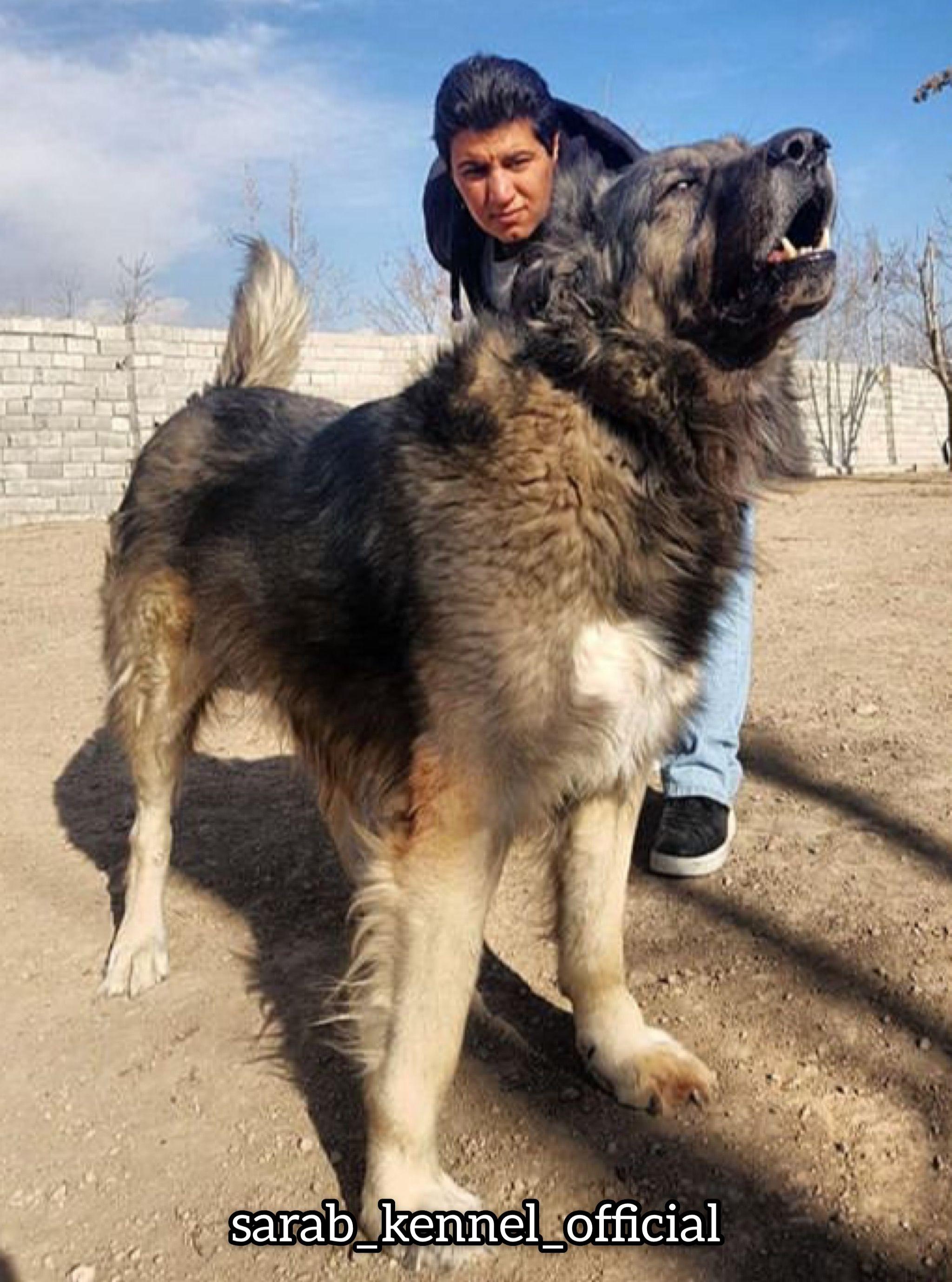 Doodi A Handsome Long Hair Sarabi Dog Iranian Mastiff Called Sarabi Giant Dogs Dogs Pet 101