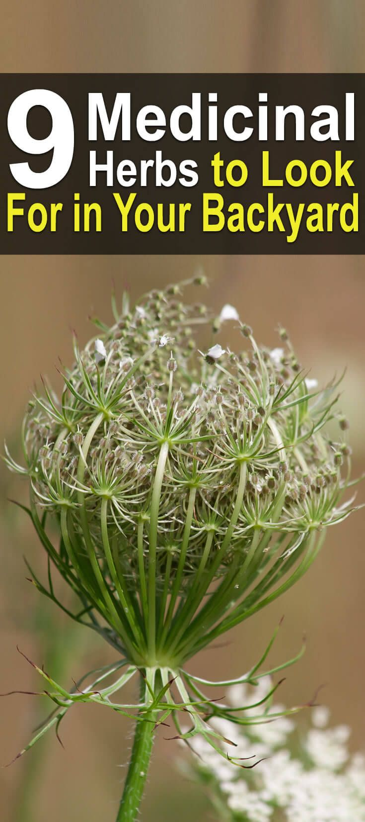 9 medicinal herbs to look for in your backyard herbs backyard