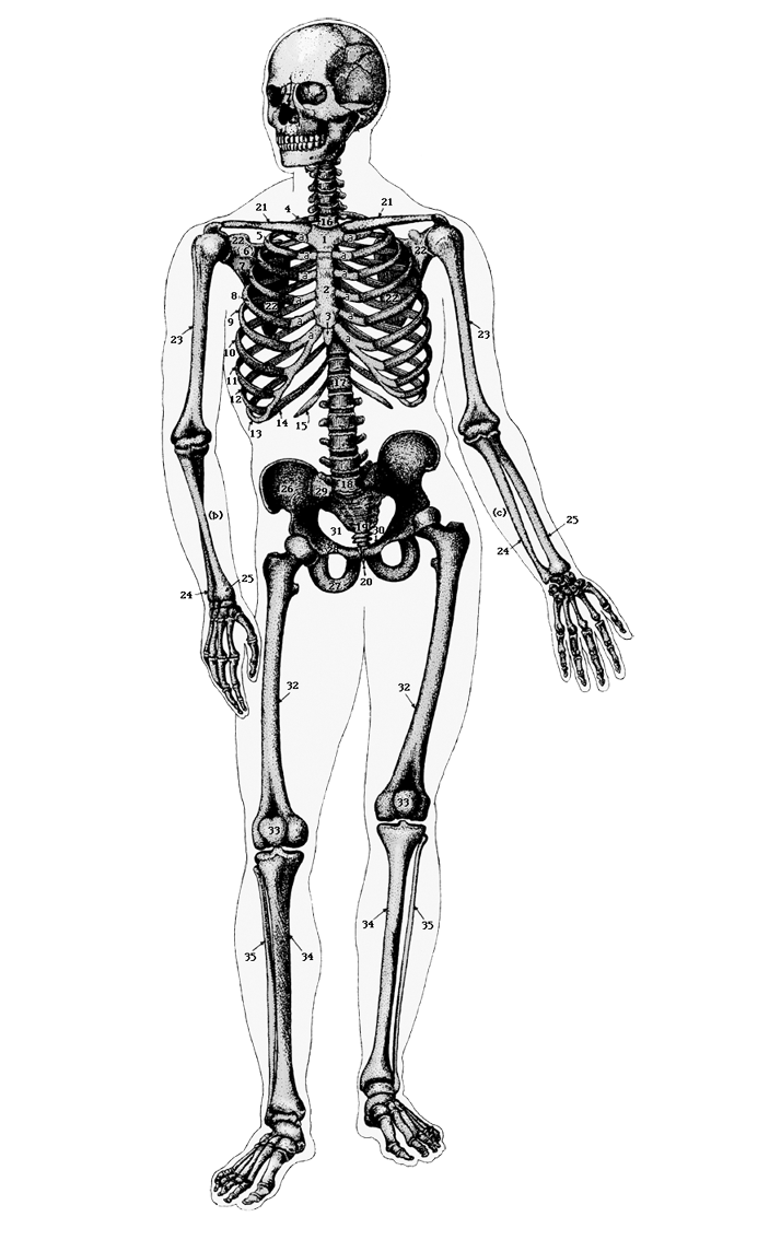 skeleton of adult man  png with transparent background