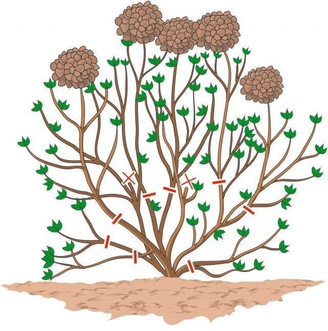 4. schema dei tagli di potatura delle ortensie più vecchie, visti