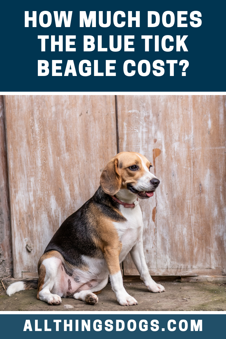 The average Blue Tick Beagle price is between 400600