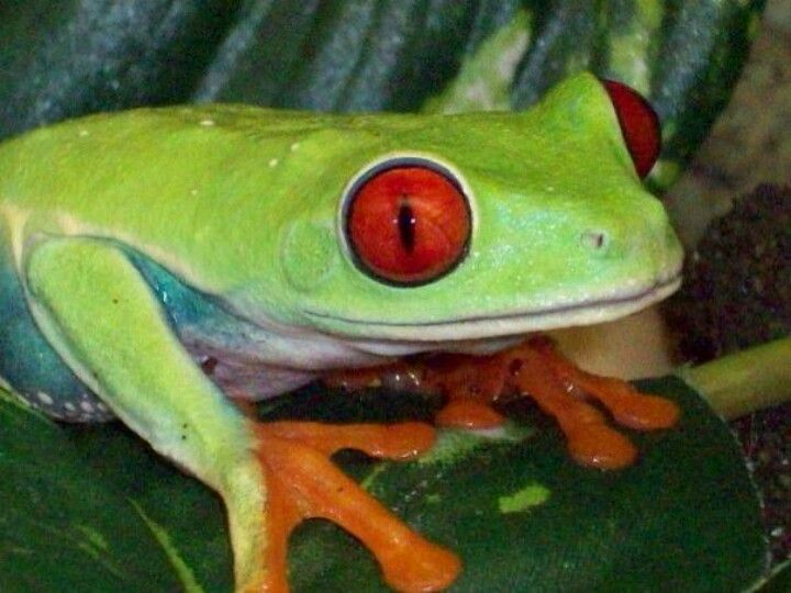 Red Eye tree frog!!!