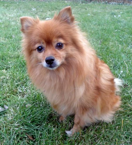 Mindy The Pomeranian Mix The Pomeranian Is A Breed Of Dog Of The