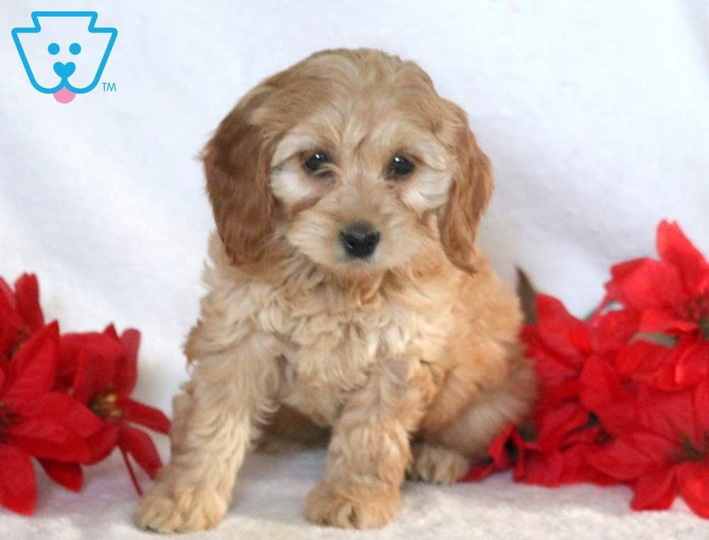 Tootsie Cockapoo Puppies Cockapoo Puppies For Sale Puppies