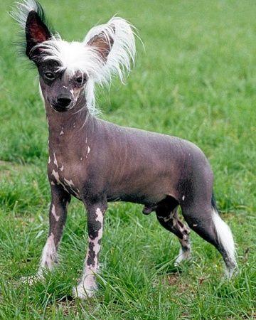 Five Hairless Dog Breeds: Mans Best (Naked) Friends