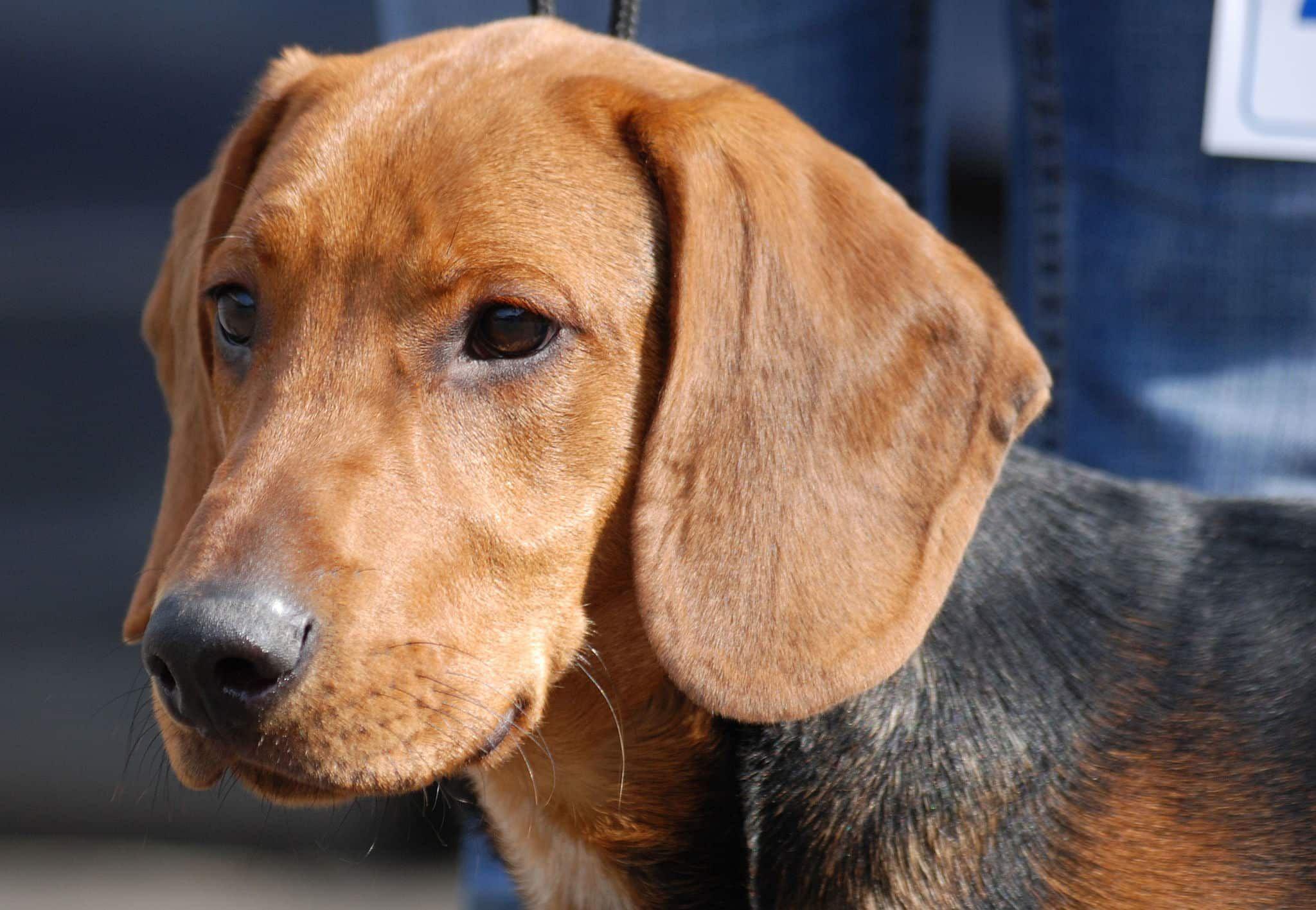 Schillerstövare Hunde, Hunderassen