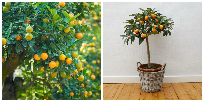 Neznámy citrus kumkvat - malý brat pomaranča - KAMzaKRÁSOU.sk