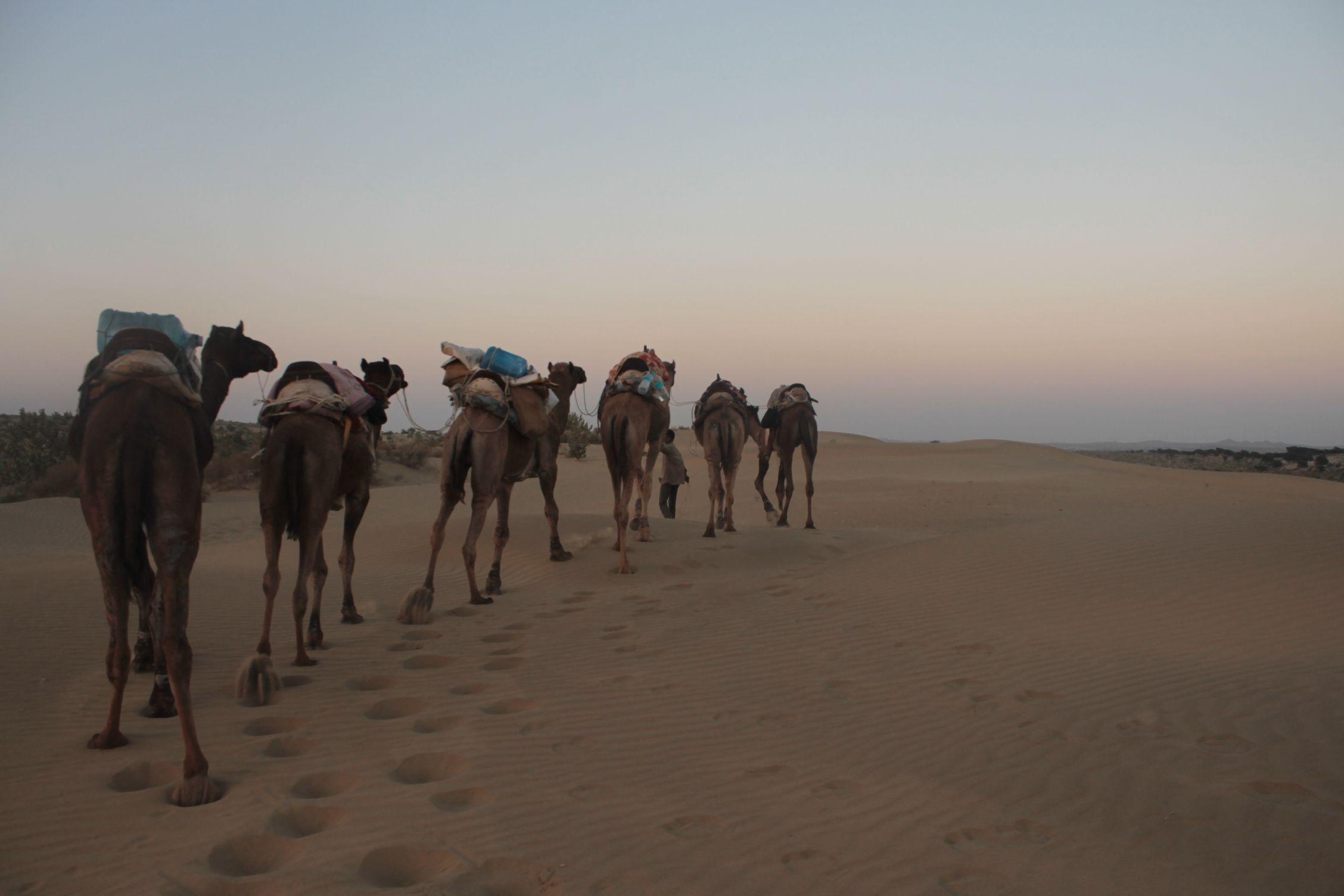 Camellos en las Dunas