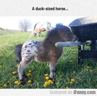 A Duck Sized Horse