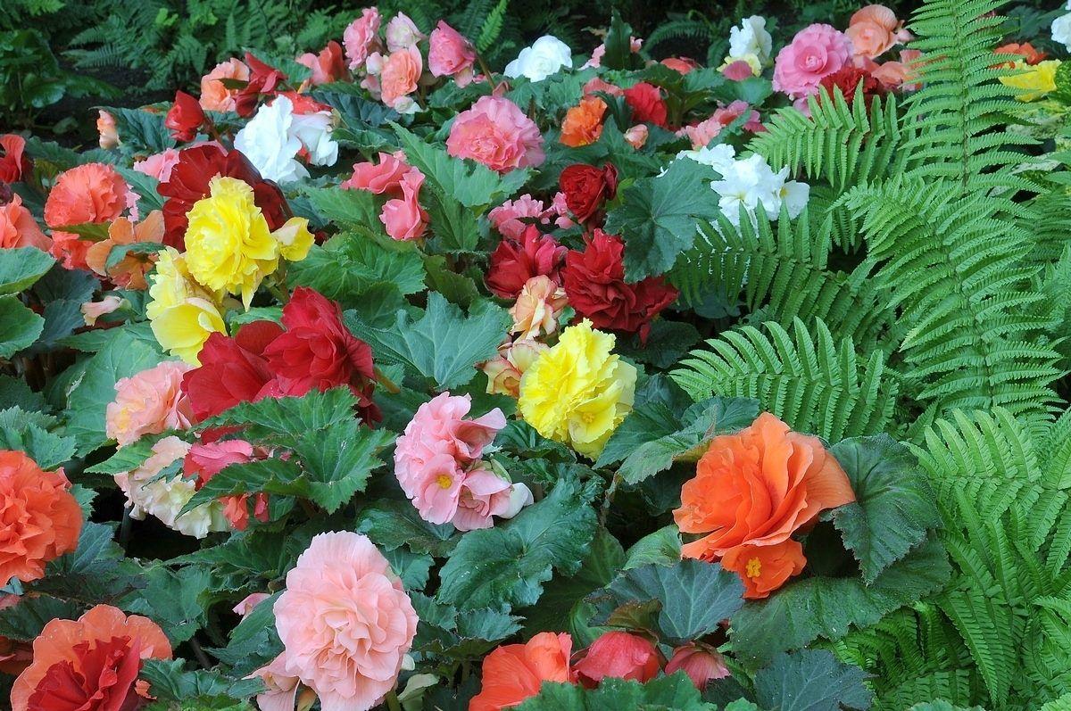 Begonia Elatior Y Sus Innumerables Colores Todos Preciosas
