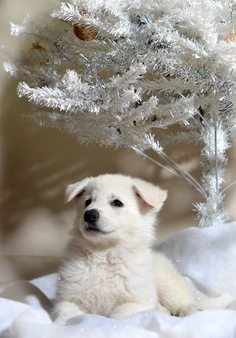 8 Week Old White German Shepherd Dog For Christmas Spartacus