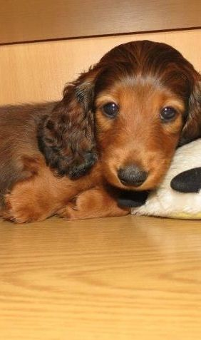 Curly Eared Doxie Baby Dachshund Dog Weiner Dog Weenie Dogs
