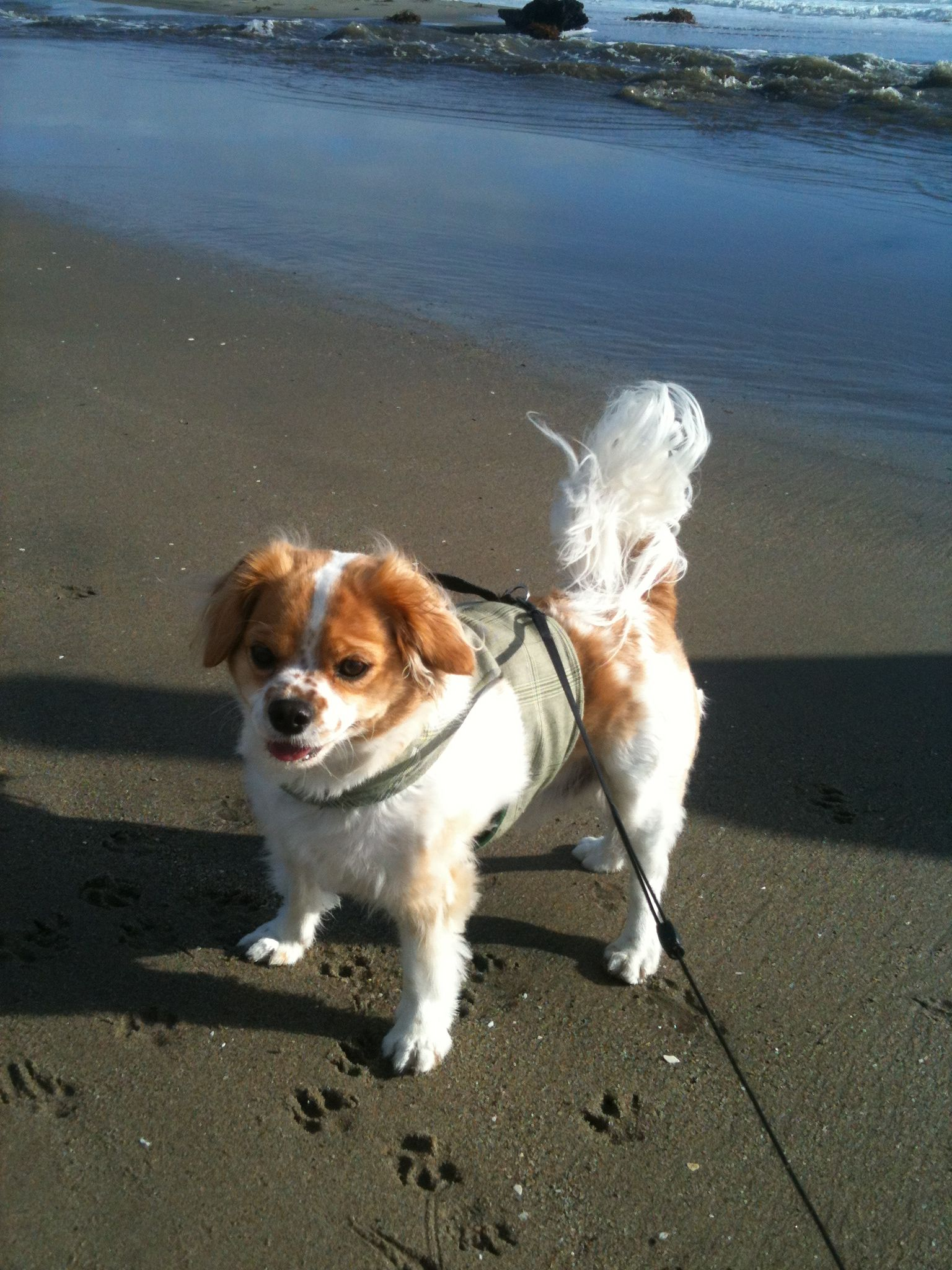 Zeppy after a wild seagull chase on the beach.