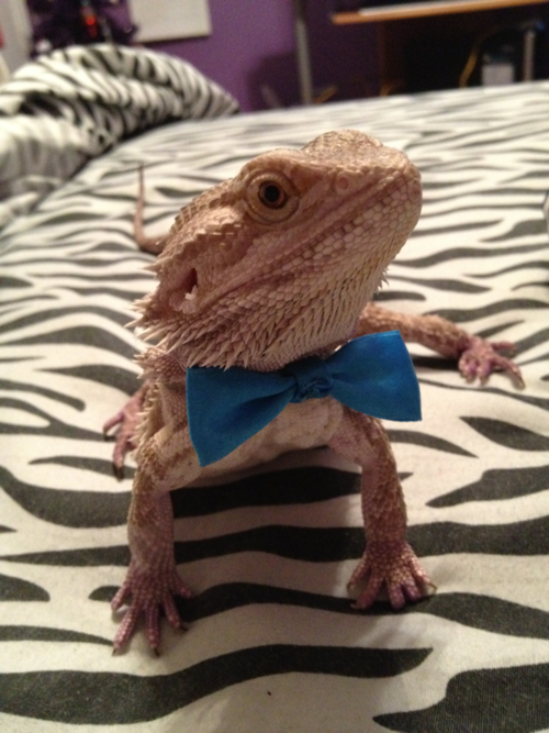Random Daily Funny Pictures August 1 2014 Baby Bearded Dragon Cute Animals Bearded Dragon Funny