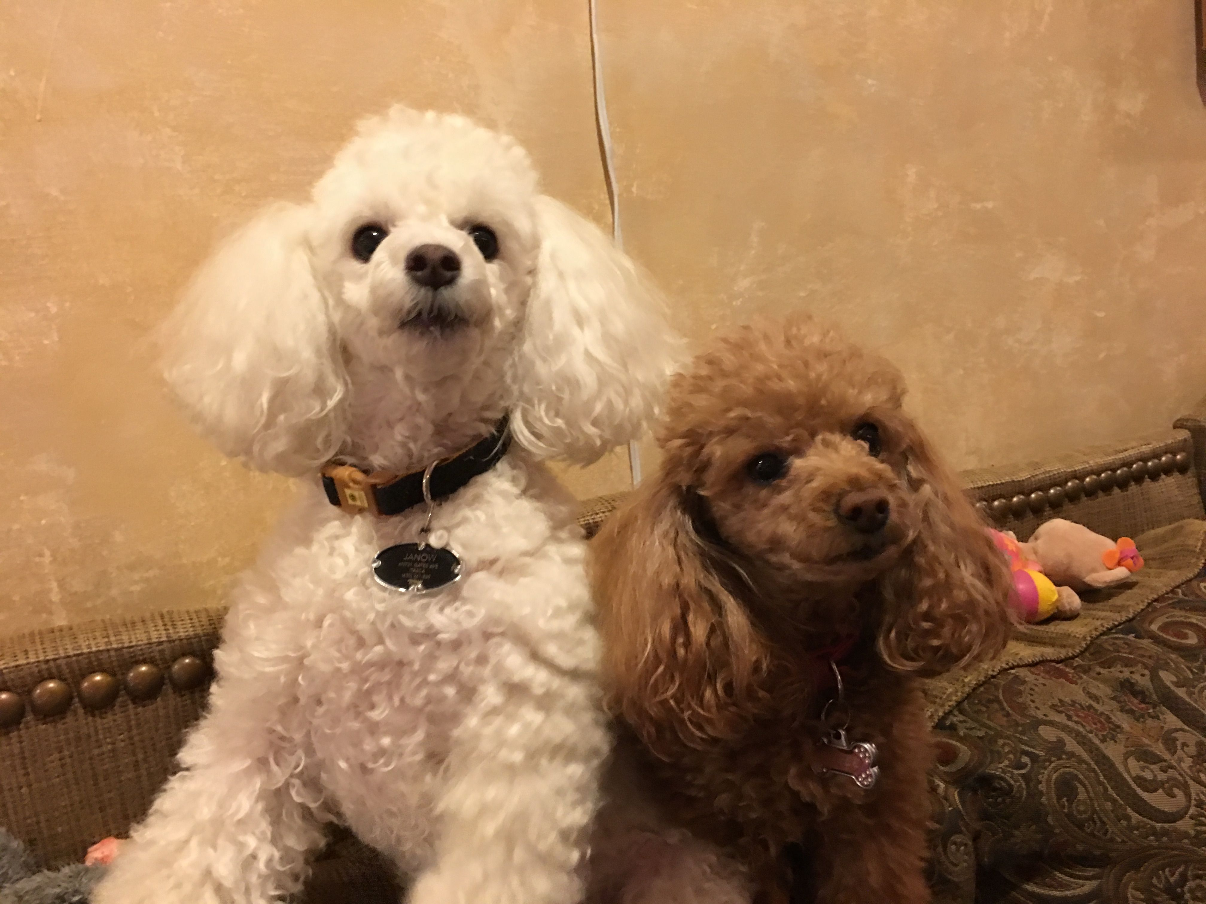 Poodles Cute Animals Toy Poodle Puppies Poodle Dogs