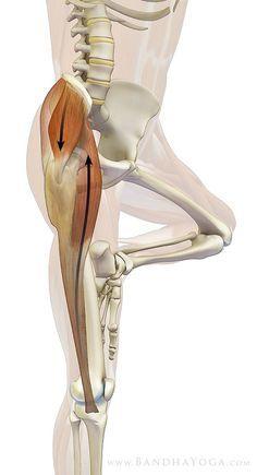 yoga tree pose benefits vrikshasana  yoga anatomy