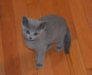 Purebreed Hypoallergenic Russian Blue Kitten Cats Kittens For Rehoming City Of Toronto Kijiji Russian Blue Kitten Russian Blue Kitten