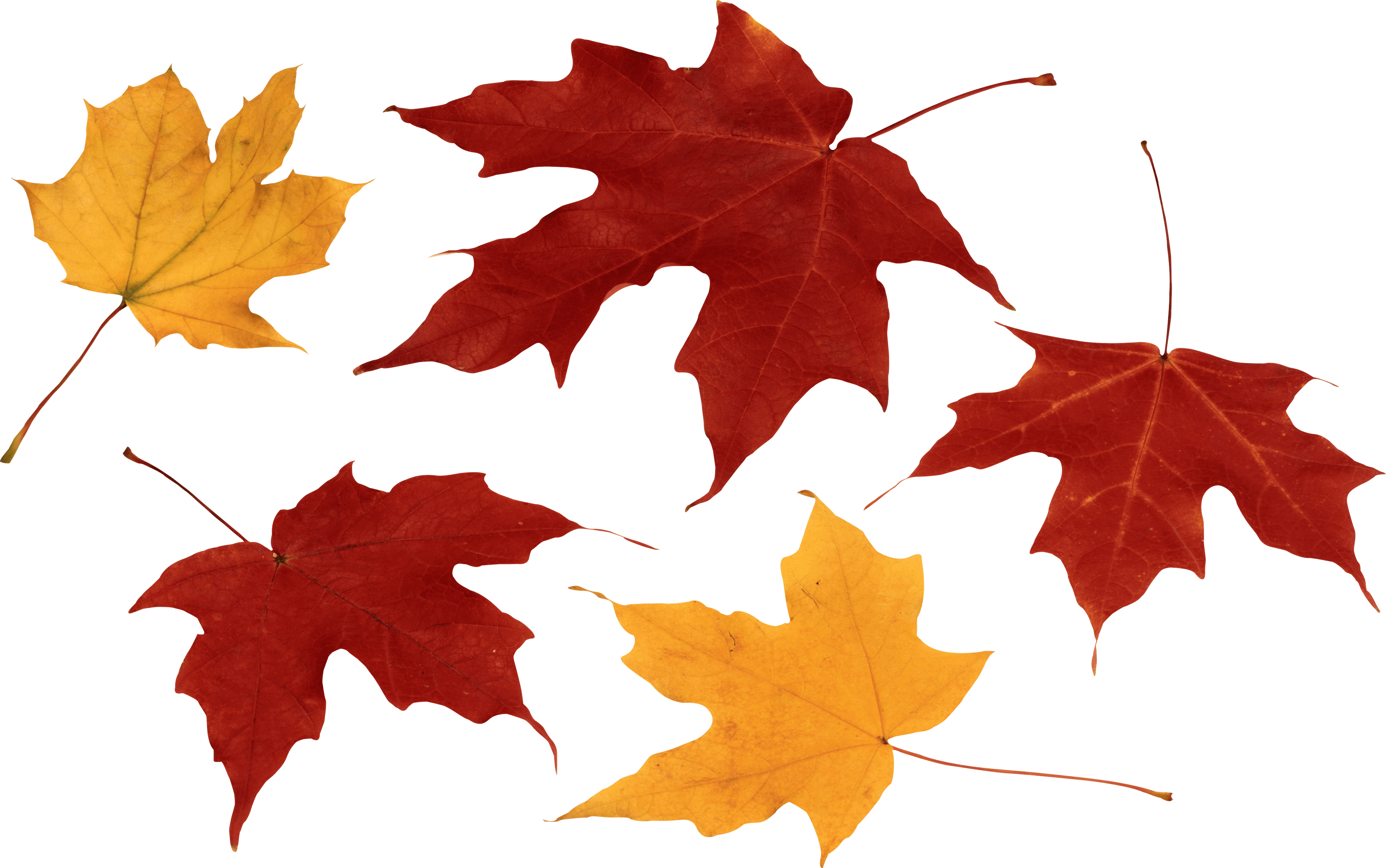 Leaves Png Pesquisa Google Png Images Autumn Leaves Png
