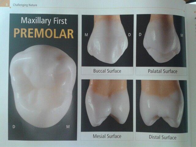 Premolar | Morfología dental | Pinterest | Morfologia, Anatomía ...