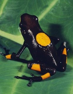 Black Frog licked by the Frog that was bit by the Sapphire Serpent