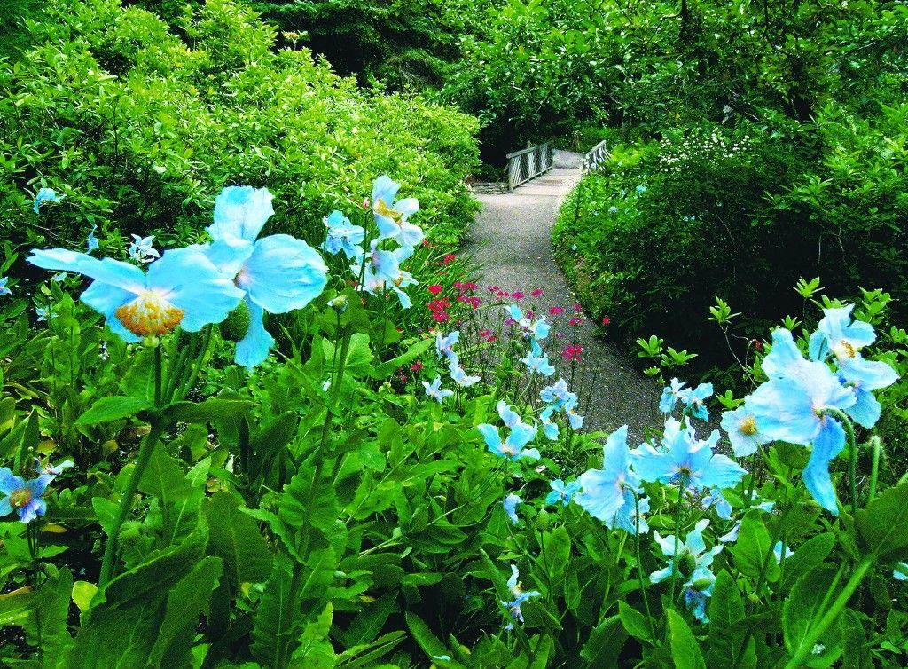 famous Blue Poppy in Jardins de Metis know as Else Reford