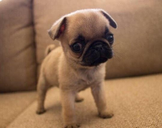 Snuggly Pug Baby Pugs Cute Pug Puppies Baby Animals Pictures
