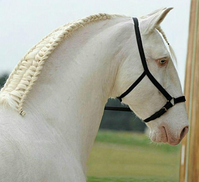 Cremello Puro Sangue Lusitano Stallion Quintal Portrait Cheval Lusitanien Equestre Cheval