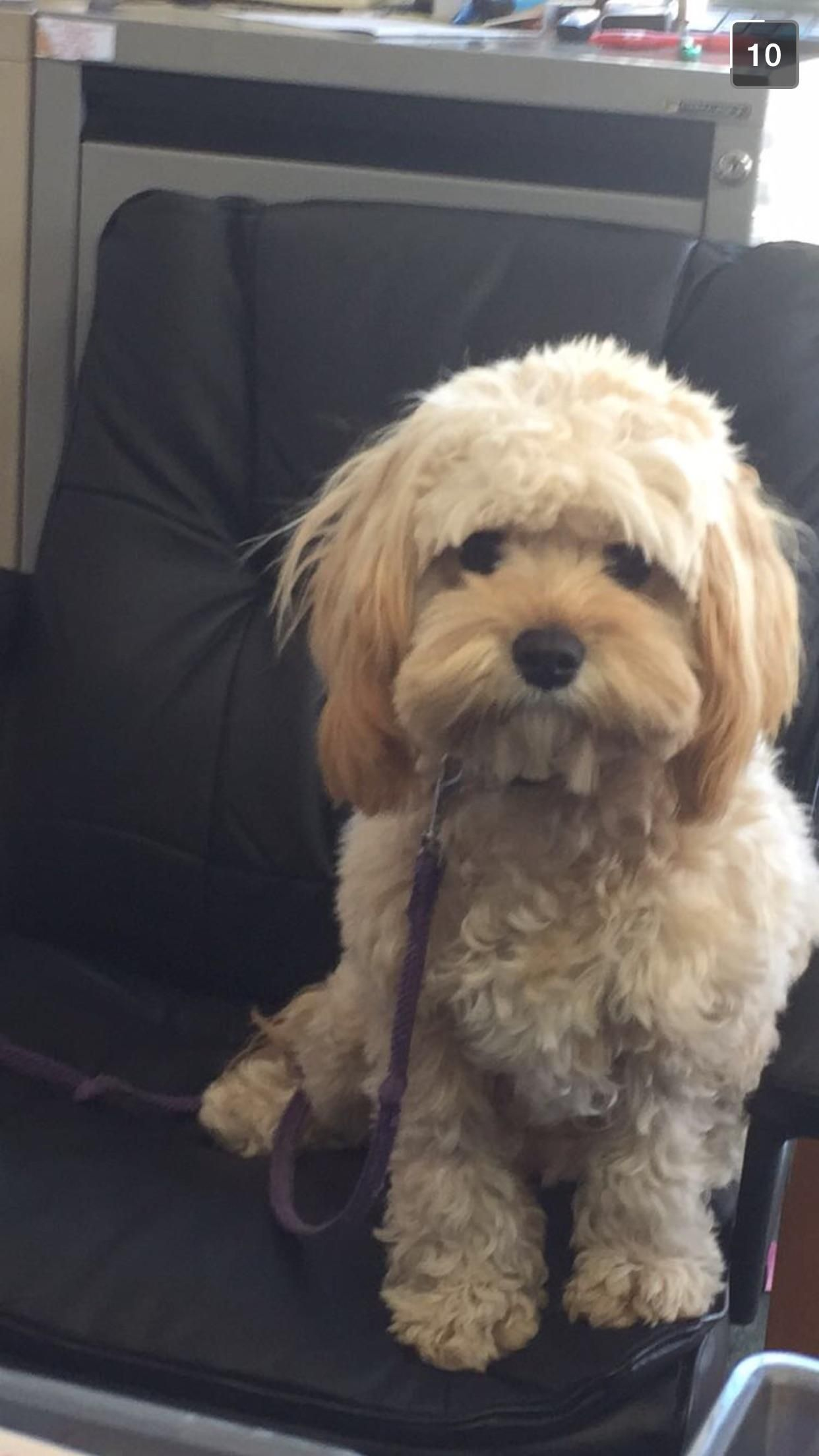 Puppy For Sale 6 Month Old Cavoodle In Los Angeles Http Ift Tt 2pqdu8q Puppies Puppies For Sale Puppy Training