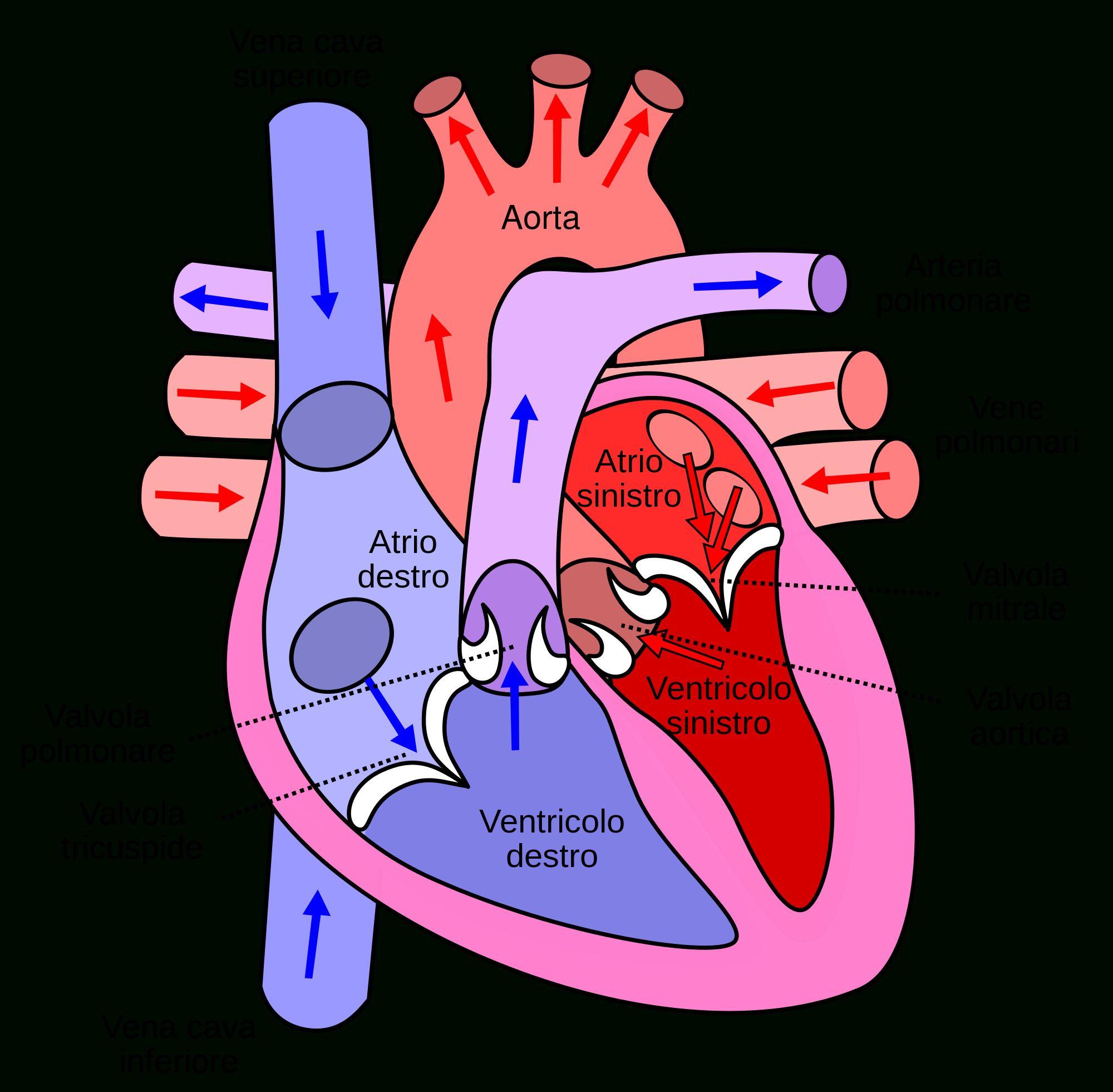 Human Circulatory System Diagram Labeled Circulatory