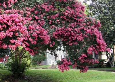 Love crape myrtle trees one of the longest blooming types of trees love crape myrtle trees one of the longest blooming types of trees i have 3 kinds a watermelon red a catawba purple and a pink crape myrtle tree mightylinksfo