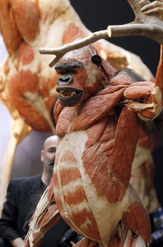 gorilla | Weird ass shit | Pinterest | Anatomy and Exhibitions