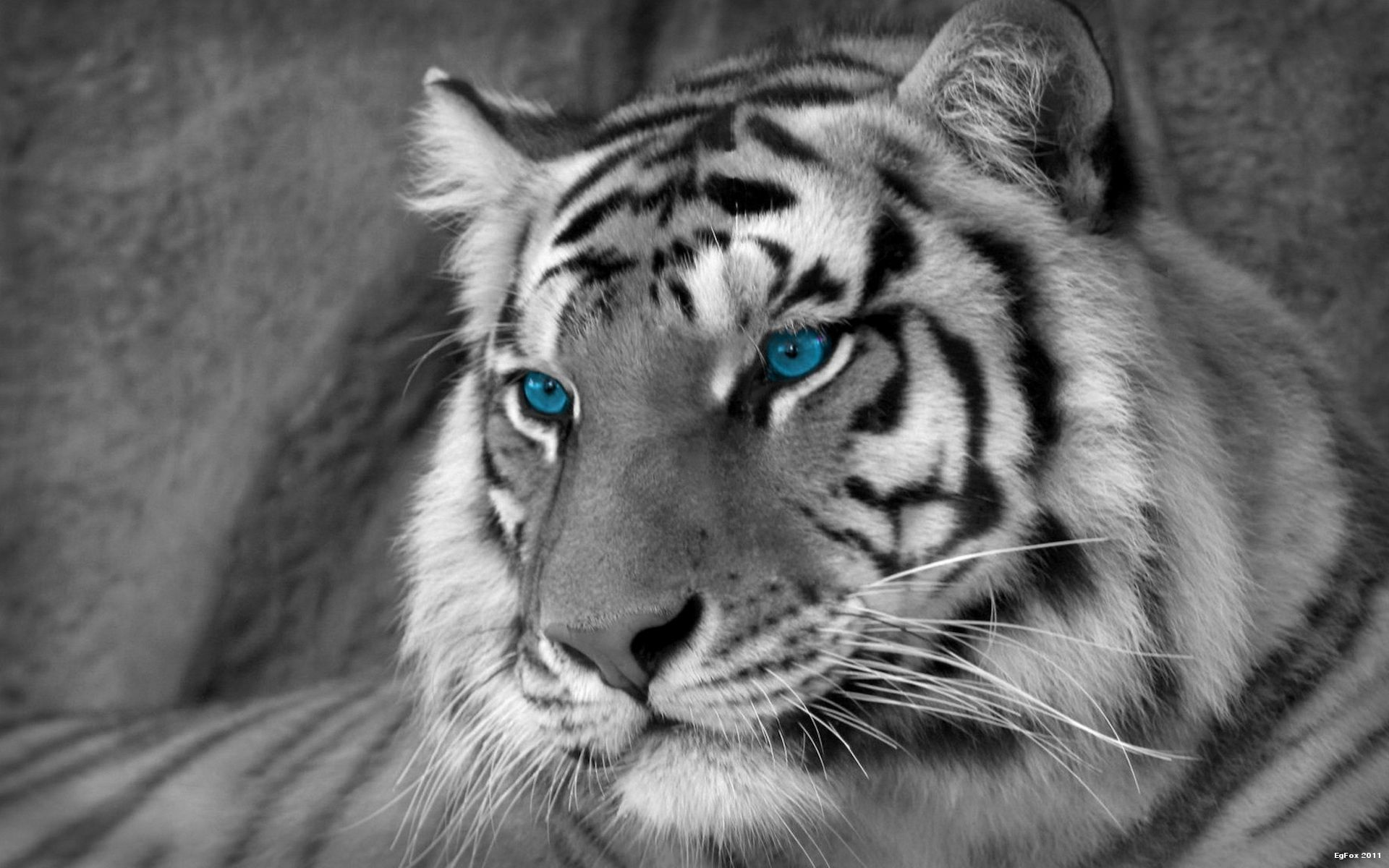 White Tiger Desktop Backgrounds Wallpaper Cave Every Thing