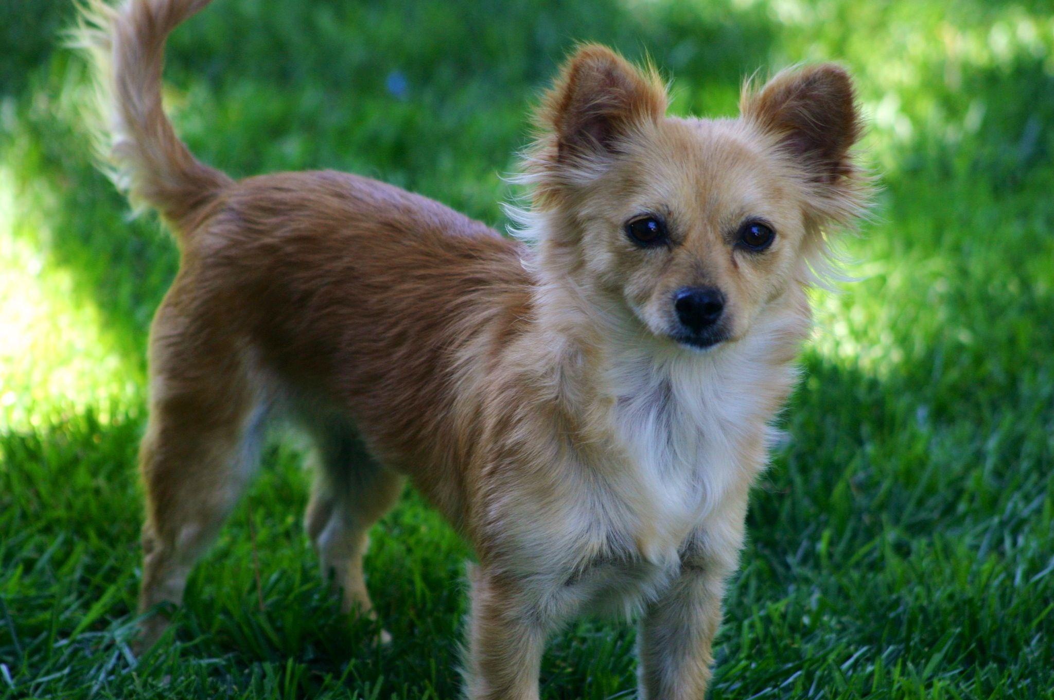 My Sweet Pomchi Minnie Pomeranian Chihuahua Mix Pomeranian