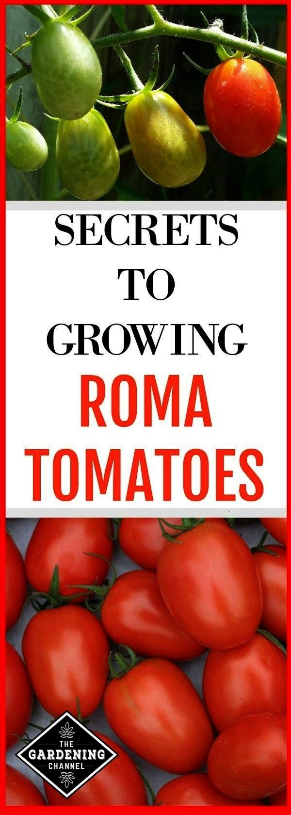growing in the garden and roma tomato harvest with text overlay secrets to growing roma tomatoesroma tomatoes growing in the garden and roma tomato harvest with text over...