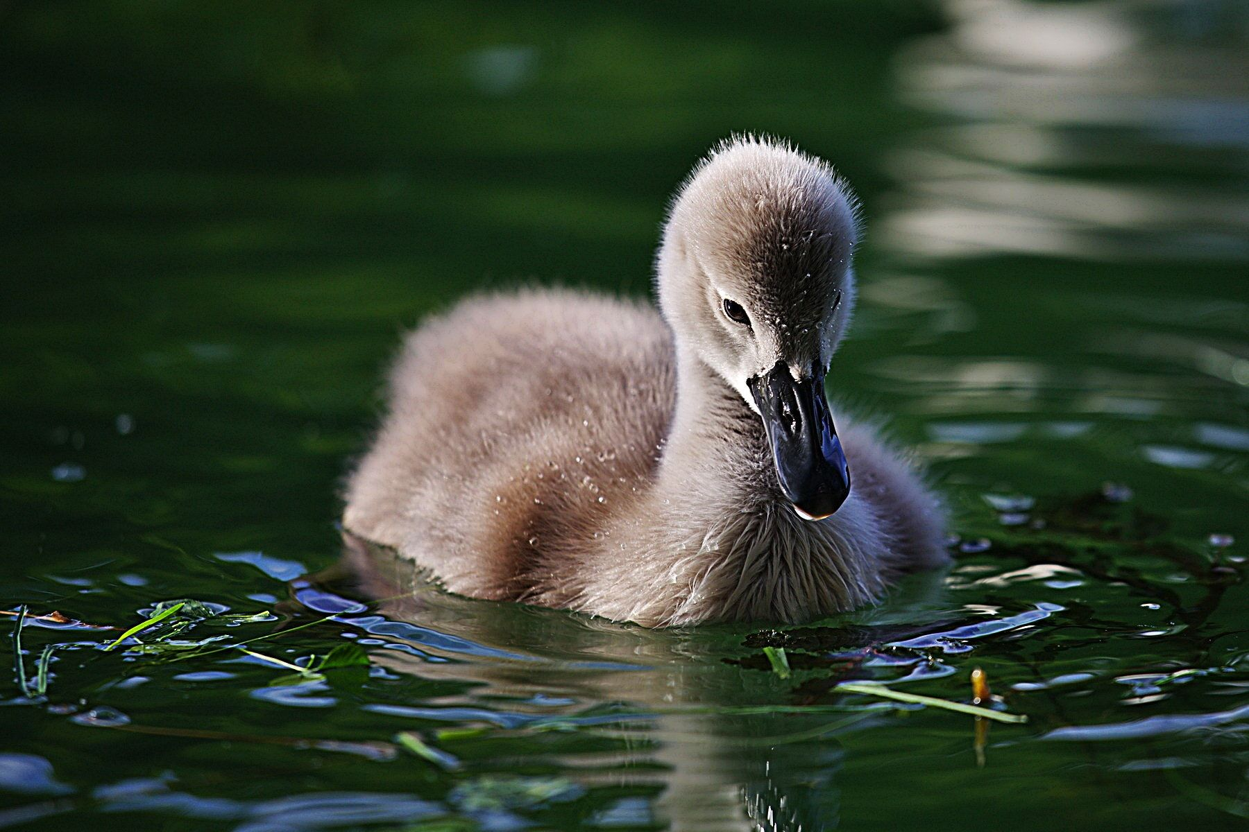 Image result for ugly duckling and swan Pinterest