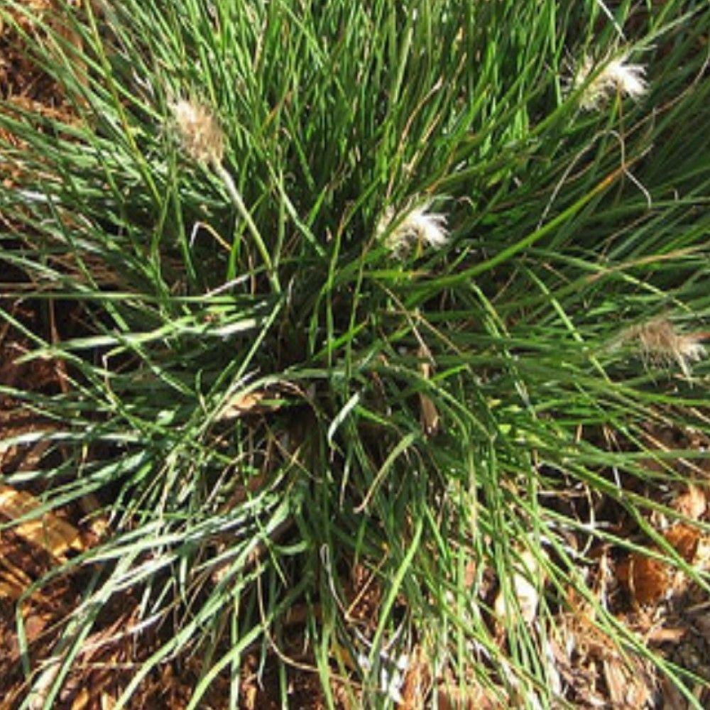 Dwarf Grasses Landscaping 1 gal little bunny dwarf fountain grass plant fountain grass and little bunny dwarf fountain grass plant workwithnaturefo