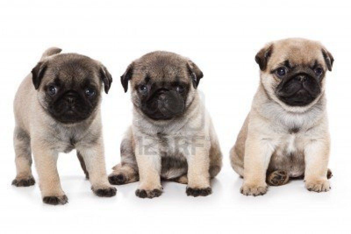 Stock Photo Pug Puppies Cute Pug Puppies Cute Pugs