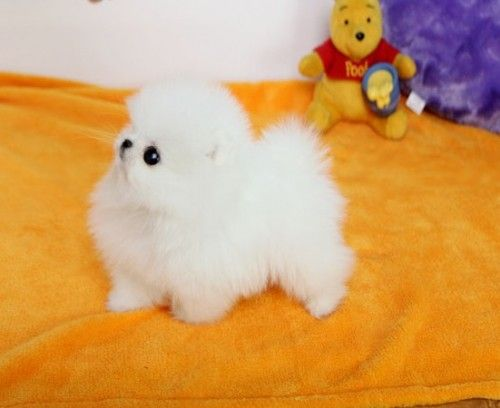Gorgeous Tiny Teacup Pomeranian Puppies Purebred Tiny Dogs For