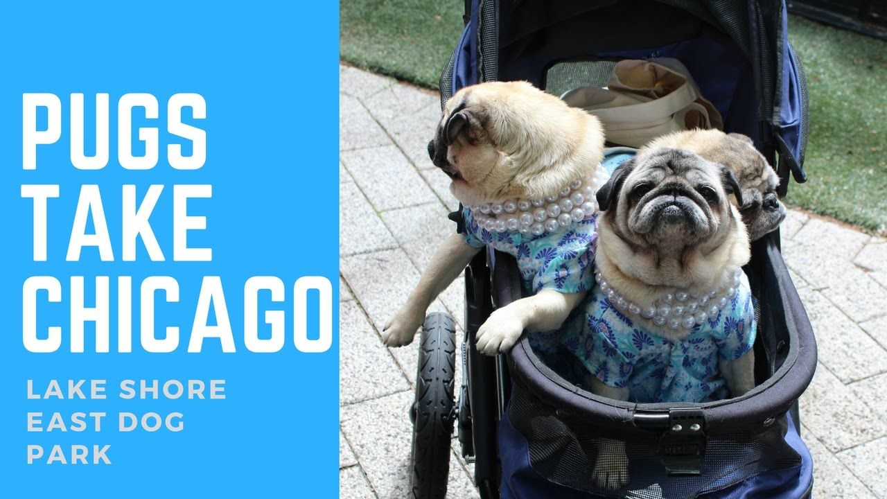 Pugs Take Chicago Lake Shore East Dog Park Meetup (With