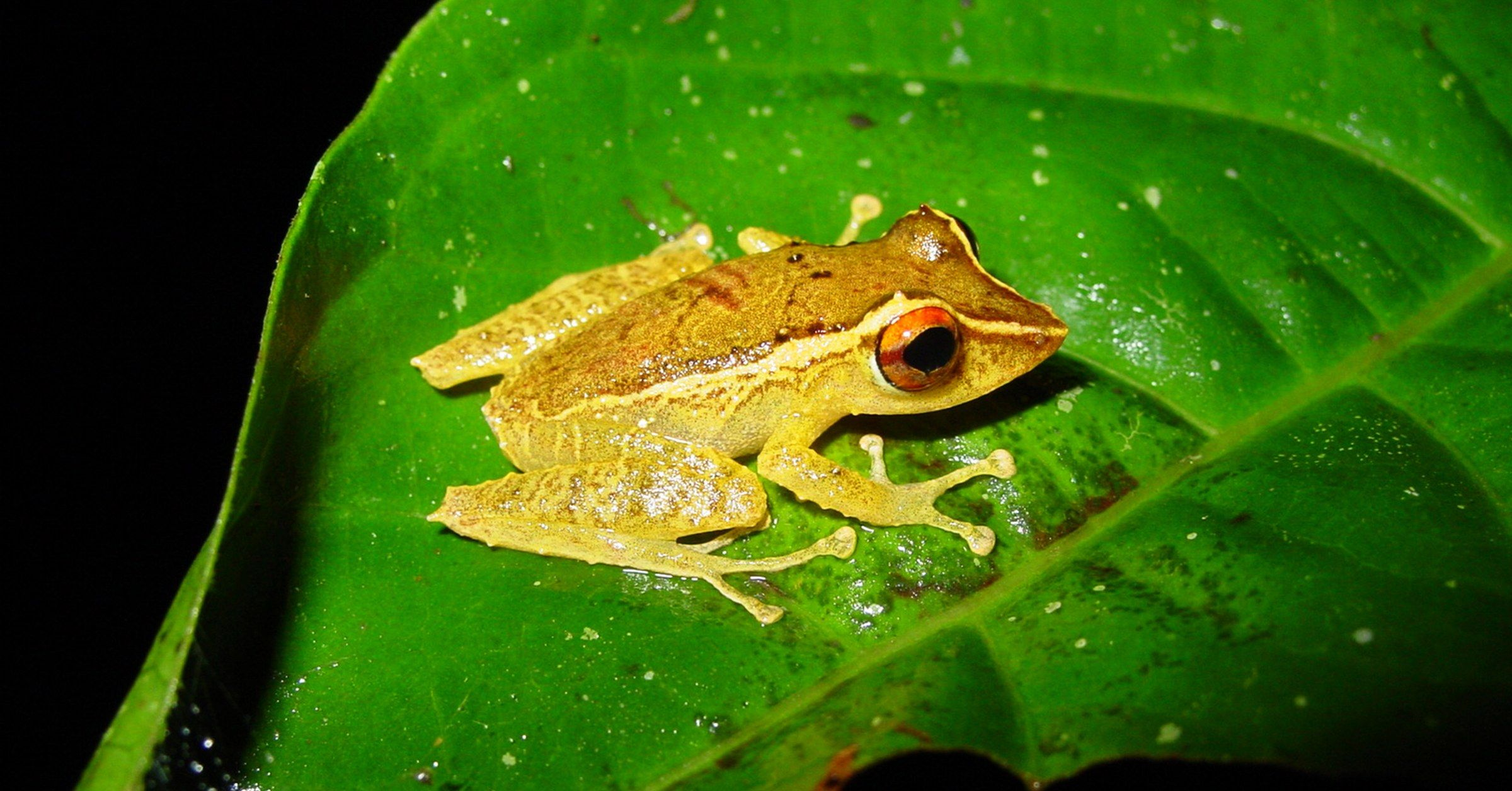 Some Frogs May Be Developing a Resistance to the Disastrous Chytrid ...