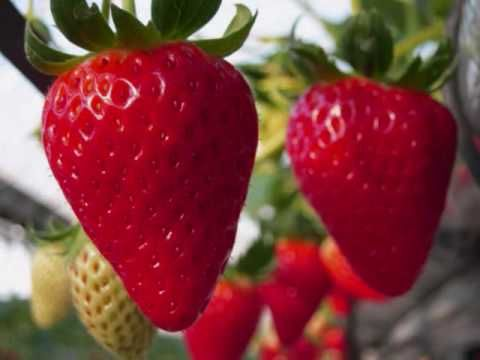how to grow perfect strawberries