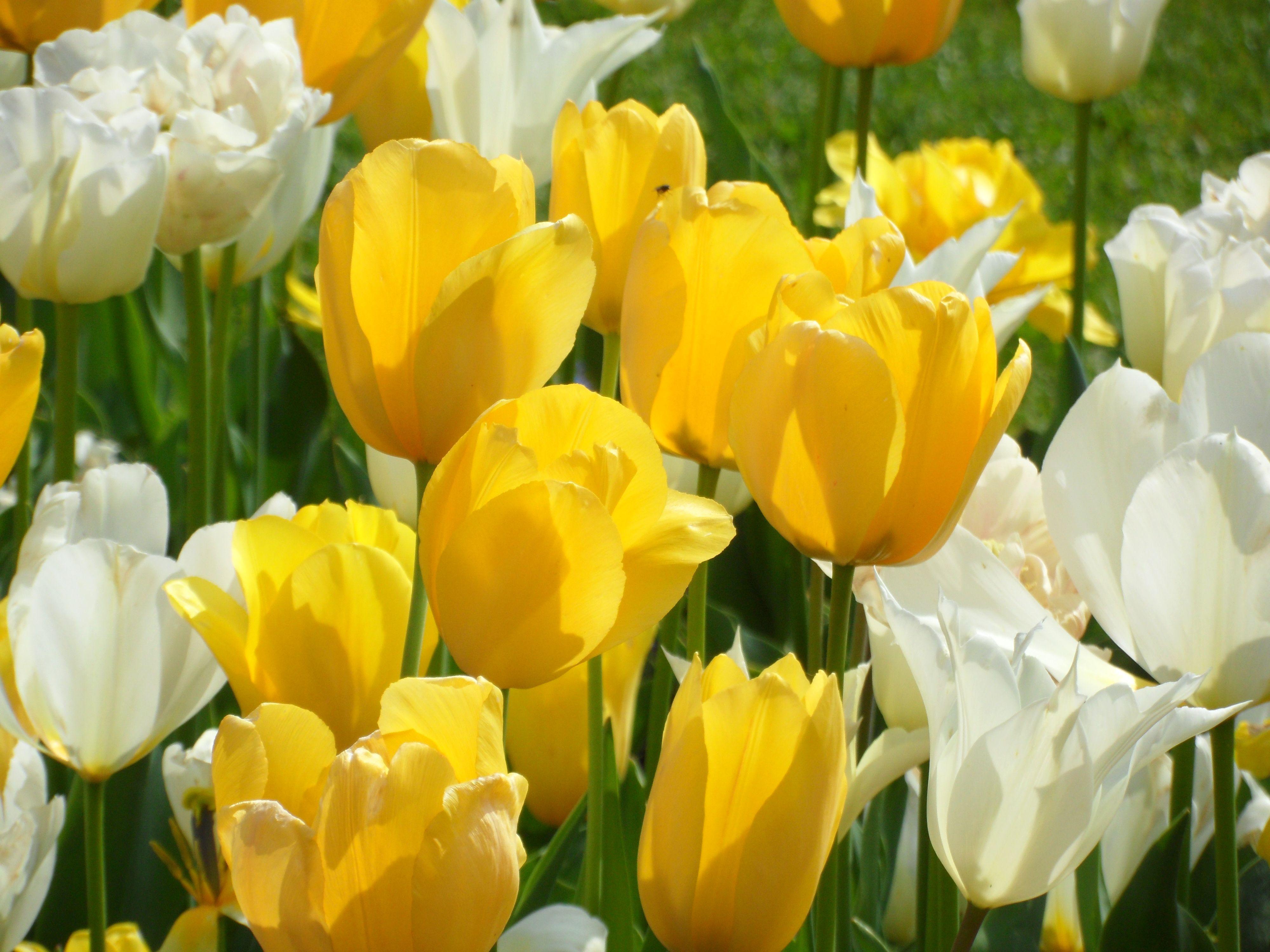 """Gelbe Tulpen weisen den """"Wandlern"""" den Weg zum Blütenpollen. Freue mich auf Eure Post! http://www.christina-dabrowski.com/#!blog/c1ckt"""
