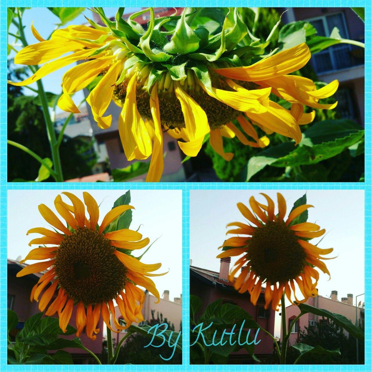 Günaydın 😊 #ayçekirdeği #gübebakan #çiğdem #bahçemizden #bahçemiz