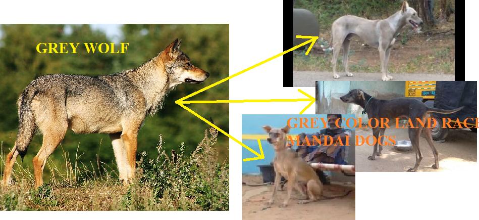 ramanathapuram mandai dog derived from grey wolf