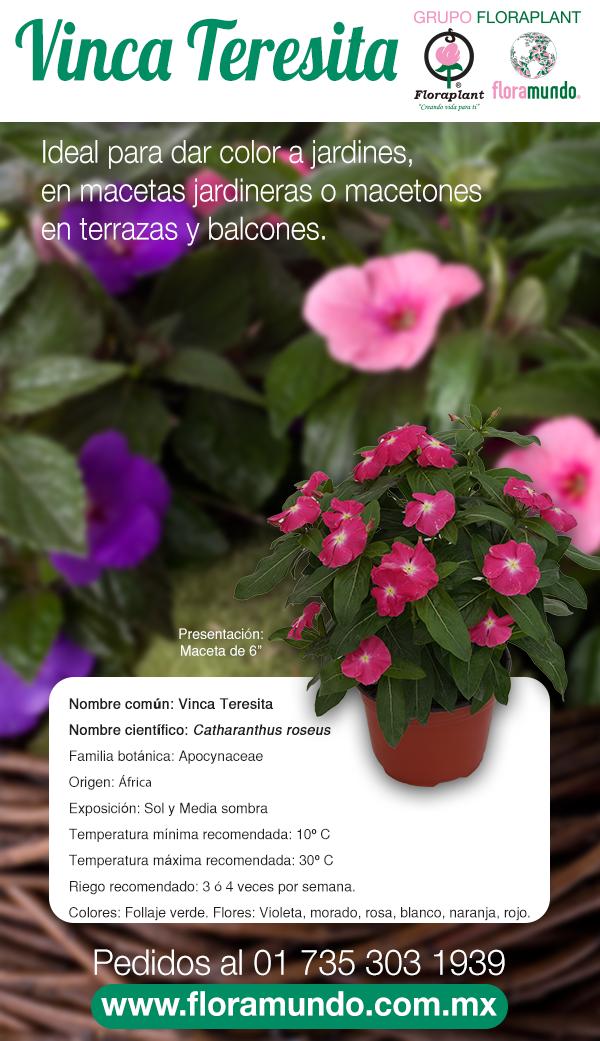 Catharanthus roseus también conocida como Vinca Teresita