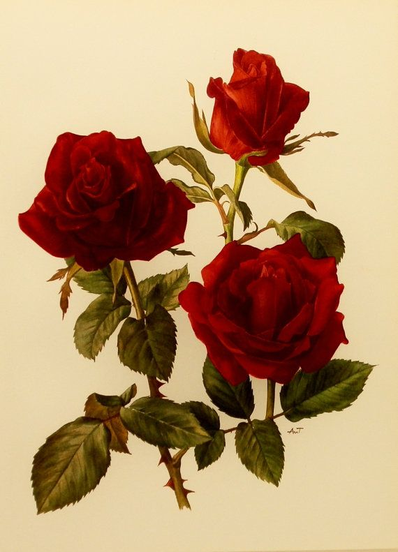 Rose Red Botanical Print, Vintage Flower Artwork, Red Rose ...