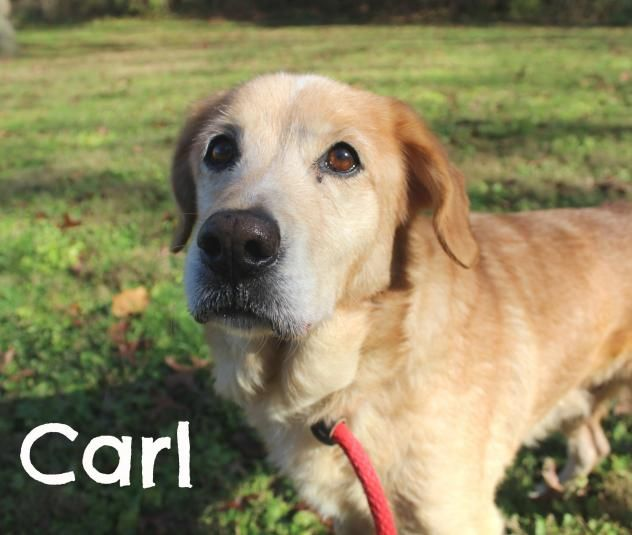 Adopt Carl on Dogs, puppies, Animals, Golden mix