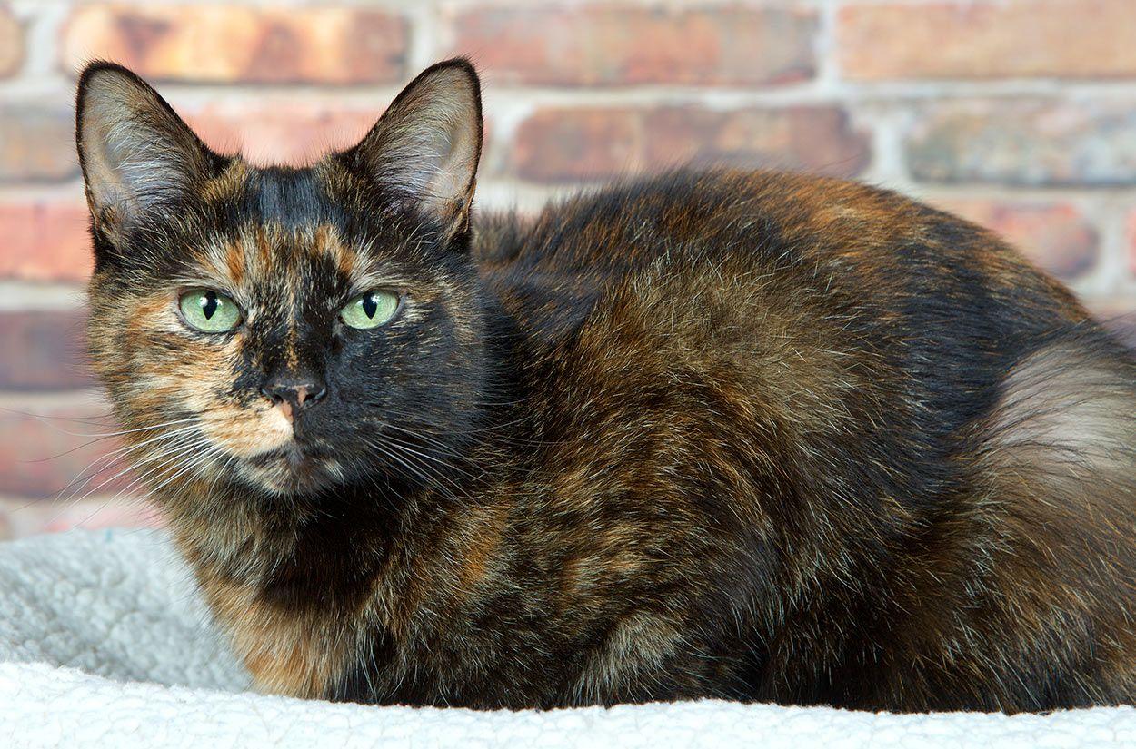 210 Terrific Tortoiseshell Cat Names Unique Cute And Fun Ideas In 2020 Tortoiseshell Cat Names Tortoise Shell Cat Cat Breeds